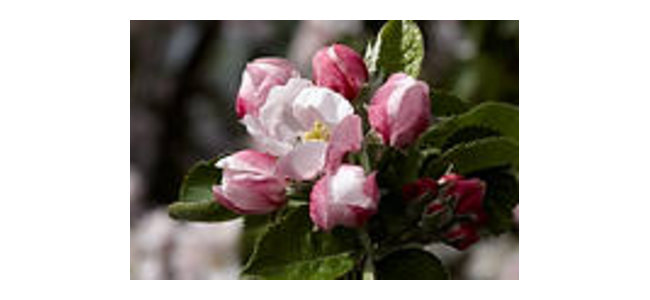 Small pleasures, apple blossom